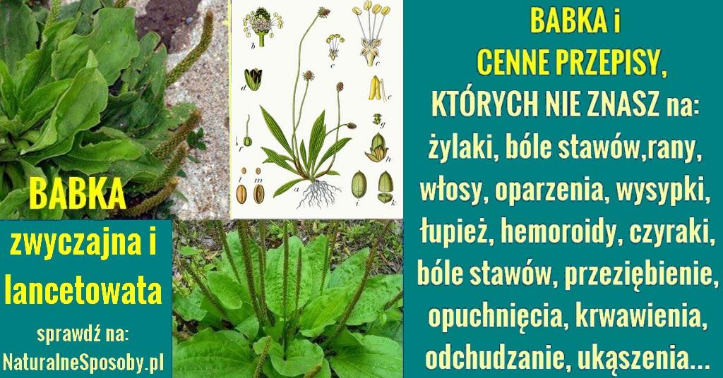 naturalnesposoby.pl-babka-lacetowata-a-babka-zwyczajna-domowe-przepisy