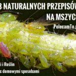 PolecamTo.pl.pl-mszyce-domowe-sposoby-przepisy